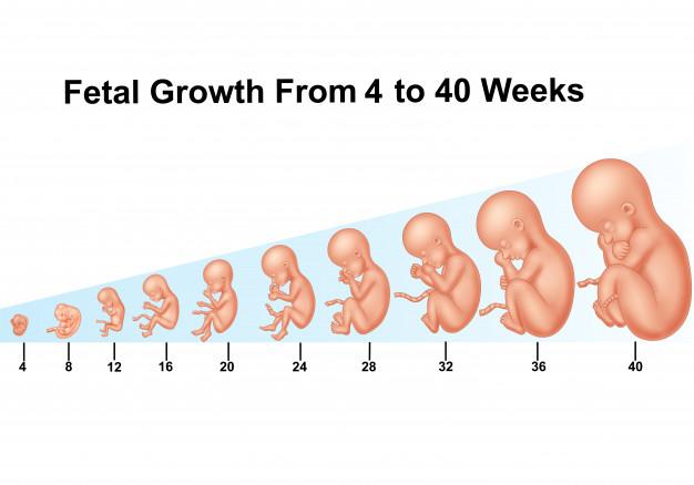 Cân nặng thai nhi